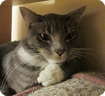 Domestic Shorthair Cat for adoption in Pueblo West, Colorado - Analiss/Andy