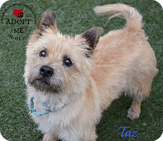 westmoreland terrier youngwood pa cairn terrier meet taz a dog for adoption 552
