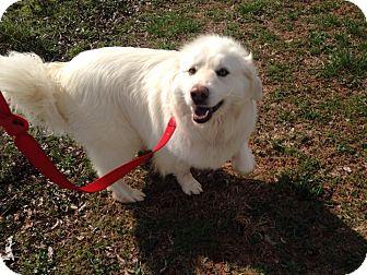 Great Pyrenees Mix Dog for adoption in Huntsville, Alabama - Gracie aka Murphy
