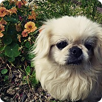 Adopt A Pet :: CHYNNA - SO CALIF, CA