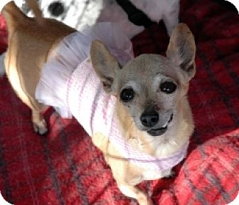 Chihuahua Mix Dog for adoption in Mesa, Arizona - Gypsy