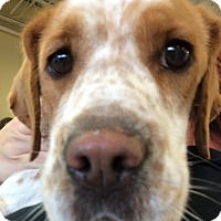 Adopt A Pet :: Siara - Raritan, NJ