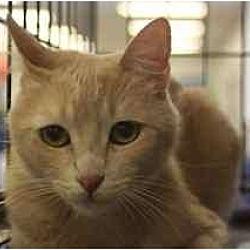 Photo 2 - Domestic Mediumhair Cat for adoption in Chino, California - Hart