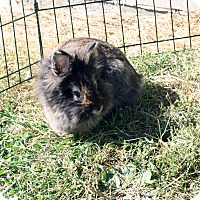 Lionhead Mix for adoption in Portland, Maine - Sunshine