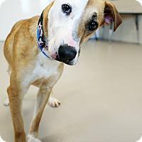 Adopt A Pet :: Shaylee - Appleton, WI