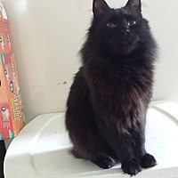 Domestic Mediumhair Cat for adoption in Clarkson, Kentucky - Gobo