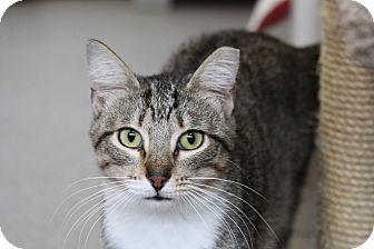 Domestic Shorthair Cat for adoption in Sarasota, Florida - Tippsie