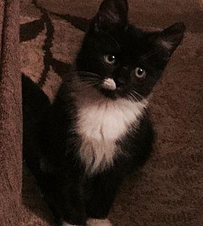 Turkish Angora Kitten for adoption in Cerritos, California - Blossom