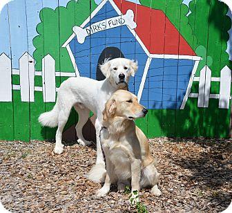 Golden Retriever Mix Dog for adoption in Pacific, Missouri - Oxanna