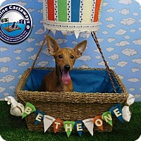 Adopt A Pet :: Bongo - Arcadia, FL
