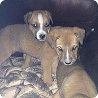 Adopt A Pet :: Shella - Hanover, PA