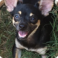 Chihuahua Mix Puppy for adoption in McKinney, Texas - Panther