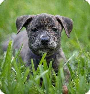 Black Mouth Cur Mix Puppy for adoption in Lithia, Florida - Mia pup Marissa -16