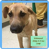 Adopt A Pet :: Diamond-adoption pending - Hanna City, IL