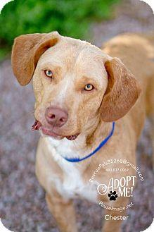 Basset Hound/Labrador Retriever Mix Dog for adoption in Fountain Hills, Arizona - CHESTER