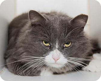 Domestic Mediumhair Cat for adoption in Lowell, Massachusetts - Gus