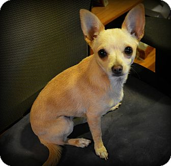 Chihuahua Mix Dog for adoption in Granbury, Texas - Autumn
