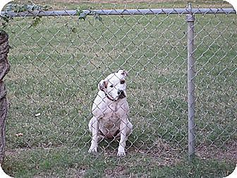American Pit Bull Terrier Mix Dog for adoption in Blanchard, Oklahoma - Speckle Belly