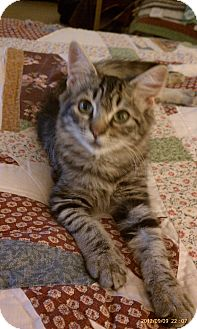 Domestic Mediumhair Kitten for adoption in Morgan Hill, California - Desi
