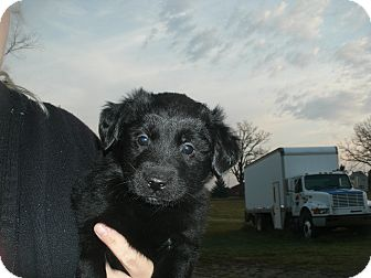golden retriever mix puppies for sale in michigan snoopy adopted puppy howell mi golden retriever 9177