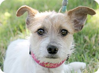 Jack Russell Terrier Dog for adoption in Austin, Texas - Jillie