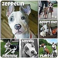 Adopt A Pet :: Zeppelin - WARREN, OH