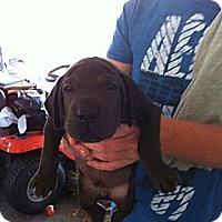 Adopt A Pet :: Elijah - Russellville, AR