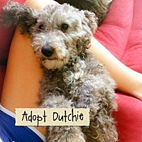 Adopt A Pet :: Dutchie - Rochester, NY