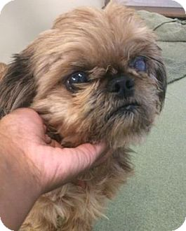 shih tzu rescue ohio gizmo adopted dog a28100642 parma oh shih tzu mix 6608