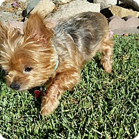 Adopt A Pet :: Lexy - Los Angeles, CA