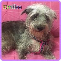Adopt A Pet :: Emilee - Hollywood, FL