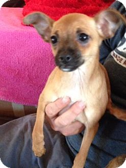 Cairn Terrier/Chihuahua Mix Puppy for adoption in The Woodlands, Texas - Piper