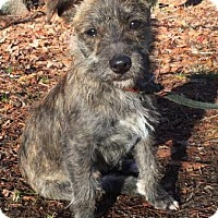 Adopt A Pet :: Riley - Brattleboro, VT