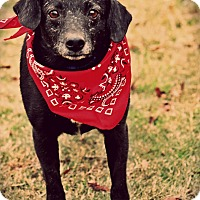 Adopt A Pet :: Gus - Haggerstown, MD