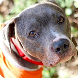 Pit Bull Terrier Mix Dog for adoption in Austin, Texas - Patsy