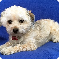 Adopt A Pet :: Pixie Dust - Encino, CA