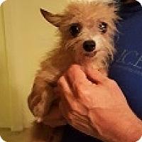 Adopt A Pet :: Alfie - Mesa, AZ
