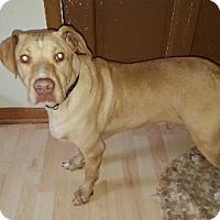 Adopt A Pet :: Bugsy - Aurora, IL