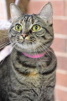 Domestic Shorthair Cat for adoption in Atlanta, Georgia - Tamara150236