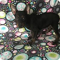 Miniature Pinscher/Terrier (Unknown Type, Medium) Mix Puppy for adoption in Lonedell, Missouri - Lily