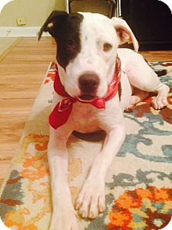Pit Bull Terrier/Labrador Retriever Mix Dog for adoption in Haggerstown, Maryland - Sissy