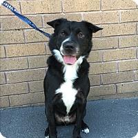 Adopt A Pet :: Bobbie - Lafayette, CA