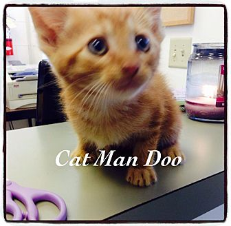 Domestic Shorthair Kitten for adoption in Dillon, South Carolina - Cat Man Doo