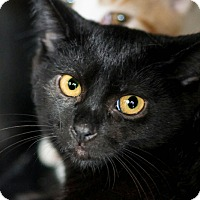 Adopt A Pet :: Raven - Morganville, NJ