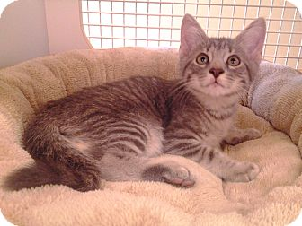 Domestic Shorthair Kitten for adoption in Richmond, Virginia - Sunny