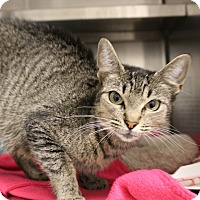 Domestic Shorthair Cat for adoption in Sarasota, Florida - Minnie