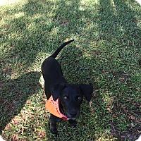 Labrador Retriever Mix Puppy for adoption in Houston, Texas - Bella