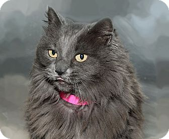 Domestic Longhair Cat for adoption in North Las Vegas, Nevada - Wolfie
