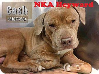 Pit Bull Terrier Mix Dog for adoption in Crete, Illinois - Heyward (Cash)  ~ Adoption Pending