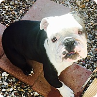 English Bulldog Dog for adoption in Pearland, Texas - BoBo - LocalFoster Home Needed